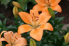File:Orange Lily.JPG