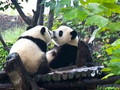 With the humidity and rains in retreat, fall is a perfect time to visit Chengdu and its adorable pandas, and one new hotel is offering a special package to help.