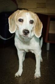 Petango.com – Meet Izzy Belle, a 11 years 2 months Beagle / Mix available for adoption in PHOENIX, AZ
