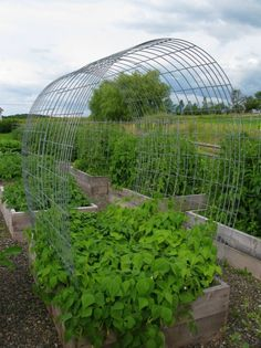 Livestock fencing as trellises. Hmmmm....could be a good inexpensive solution.