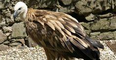 Vautour-fauve-Vautour-griffon-Gyps-fulvus-Vultur-fulvus-Griffon-vulture
