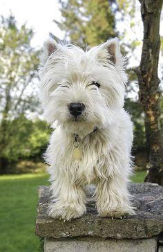 westie - Looks just like my Angus! Sooo cute!.