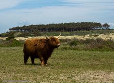 Highland cow, Netherlands Netherlands, Cow, Nature, Photography, Animals, Shopping, The Nederlands, The Netherlands, Naturaleza