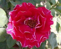 Photo Baron Girod de l'Ain Baron, Flowers, Plants, Flora, Plant, Royal Icing Flowers, Flower, Florals, Bloemen