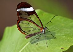 glass butterfly photos-You can find this amazing insect in Central America, anywhere between Panama and Mexico.