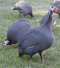 These guineas are the best on the ground bug eaters. They specialize in ticks and mosquitoes