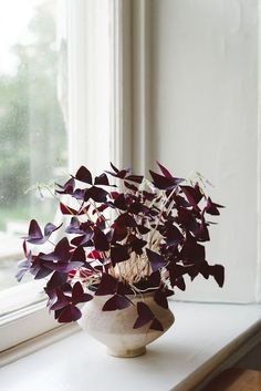 Oxalis triangularis #plant #window #interiors