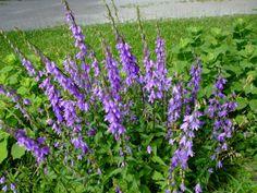 Europeon Bellflower, Blue Spring Plants, Spring Garden, Perennials, Seeds, Flowers, Blue, Royal Icing Flowers, Perennial, Flower