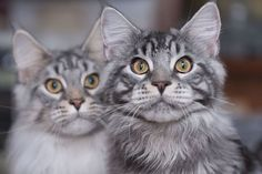 3 Reasons to Love Maine Coon Cats
