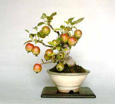 árvore bonsai - Pesquisa Google