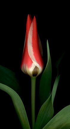 Tulip 'Pinocchio'