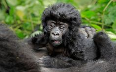 An adorable baby gorilla shows off his head of thick, lustrous hair as he snuggles into his mother in the mountains of Rwanda. Shot in the Virunga Volcanoes National Park by professional wildlife photographer, Andy Rouse