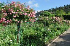 pink rose standards