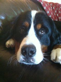 looks like my big boy, a Bernese Mountain Dog