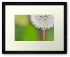 """Dazzling Dandelion"" by Thierry Wojtczak. Available for sale at http://www.redbubble.com/people/thierrywojtczak/shop"