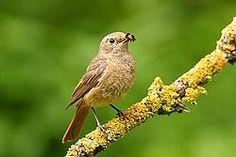 Phoenicurus phoenicurus female.El colirrojo real (Phoenicurus phoenicurus) es una especie de ave paseriforme de la familia Muscicapidae.  Cría en Europa entre abril y agosto, habitando en bosques claros, jardines, parques y lugares semiabiertos que ofrezcan árboles con huecos idóneos para anidar.2 Inverna en África.2