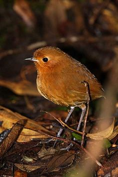 Rufous Antpitta (Grallaria rufula) of the high elevation Andean forests in Ecuador