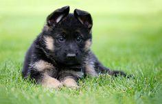 German Shepherd. I love little puppy ears.