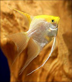 Pearl Angel Fish