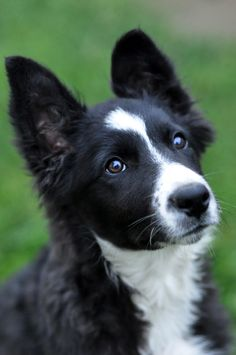 Little border collie