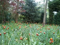 springtime in Normandy - a sea of amber tulips signalling the start of summer