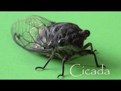 Rare Insects: Cicada [Sound and Video] - YouTube