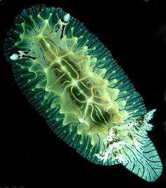 The Sea Slug Forum – Halgerda willeyi - Underwater Creatures, Underwater Life, Ocean Creatures, Under The Ocean, Sea And Ocean, Ocean Deep, Beautiful Sea Creatures, Sea Snail, Sea Slug