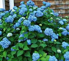 Endless Summer hydrangea, blue in acid soil, and pink in alkaline soil (can be periwinkle in neutral soil.)