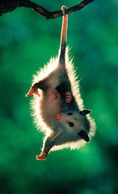 Possum et Opossum (28) via http://www.chambre237.com/possum-et-opossum/