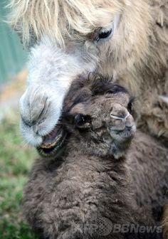 ハンガリー・ブダペスト(Budapest)のブダペスト動植物園(Budapest Zoo and Botanic Garden)で公開された、先週生まれたばかりのフタコブラクダ(野生種、学名:Camelus ferus)の赤ちゃんと寄り添う母親(2014年4月15日撮影)。(c)AFP/ATTILA KISBENEDEK ▼16Apr2014AFP|フタコブラクダの赤ちゃんがお披露目、ブダペスト動植物園 http://www.afpbb.com/articles/-/3012726 #Budapest_Zoo_and_Botanic_Garden #Wild_Bactrian_camel #Camelus_ferus #Wilde_kameel #camello_salvaje