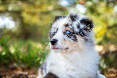 Pies, Owczarek, Australijski