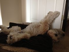 A wheaten sleeping.so true! Rescue Puppies, Cute Puppies, Cute Dogs, Wheaton Terrier Soft Coated, I Love Dogs, Puppy Love, Airedale Terrier, Goldendoodle, Funny Animal Pictures