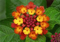 How can anyone believe there is no God when they see such details as in this lantana?