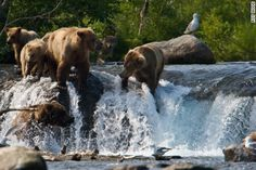 Be a guest of Katmai's brown bears