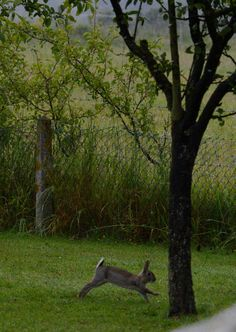 An adult rabbit in the neighbouring orchard.