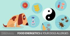Food and allergies ... your dog holds 70% of her immunity in her gut so foods play an important part in helping or increasing allergy symptoms.