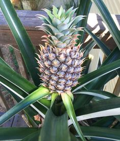 This pineapple tepache recipe uses pineapple skins to produce a delicious, refreshing probiotic beverage that tastes like pineapple kombucha. Tepache Recipe, Probiotic Drinks, Kombucha Bottles, Mexican Drinks, Urban Farming, Fruit And Veg, Growing Plants, Herbal Medicine, Recipes