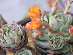 Echeveria 'Captain Hay'
