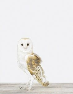 Owl - The Animal Print Shop - Sharon Montrose - Animal Photos - Wildlife — Designspiration