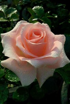 Captivating Why Rose Gardening Is So Addictive Ideas. Stupefying Why Rose Gardening Is So Addictive Ideas. Beautiful Rose Flowers, Love Rose, Fresh Flowers, Beautiful Gardens, Beautiful Flowers, Rose Pictures, Flower Photos, Belle Plante, Hybrid Tea Roses