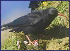 Cornish Chough, The National bird of Cornwall