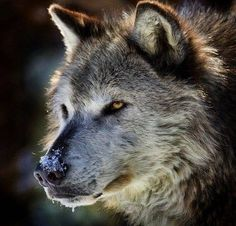 Absolutely beautiful! Love wolves!!!