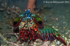 Odontodactylus scyllarus (Peacock [Smashing] Mantis) - Lembeh, Indonesia by Karen Honeycutt, via Flickr