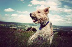 Foxy dog :-)  (Wire fox terriers rock!)