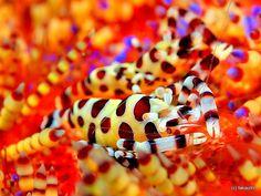 Coleman's Shrimp, Indonesia