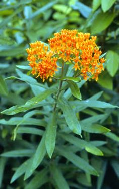 Butterfly Milkweed (Asclepias Tuberosa) - 1 1/2 to 2 ft perennial. Drought tolerant, prefers sandy soils. Blooms May to Sept. Deer resistant.
