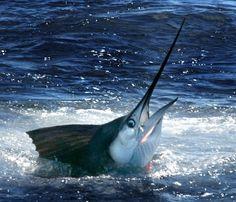 Blue Marlin fishing in the Key's Underwater Creatures, Ocean Creatures, Marlin Fishing, Salt Water Fish, Sea Dweller, Fishing Pictures, Deep Sea Fishing, Deep Blue Sea, Water Life