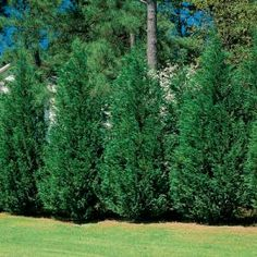 Leyland Cypress    The leyland cypress's fast growth rate of 3 feet or more a year make it the most popular and often the most economical of the Living Fence options. They are magnificent evergreens providing a dense privacy barrier and help soften noise from adjacent properties or roads. Leyland cypress grow best in full sun.