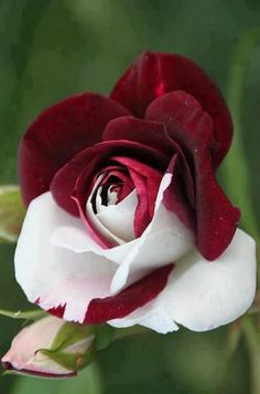 """Awesome Red and White Rose"" .. Telling A Story To Someone About How Absolutely ..  ""SPECIAL"".. They Are"" ..."