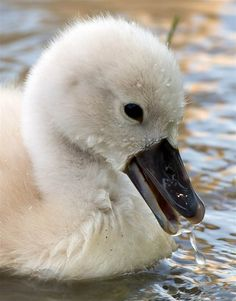 **Chick swan swims in the river Main in Frankfurt-am-Main, Germany, on June 7. (Boris Roessler / AFP - Getty Images)  swan, baby,